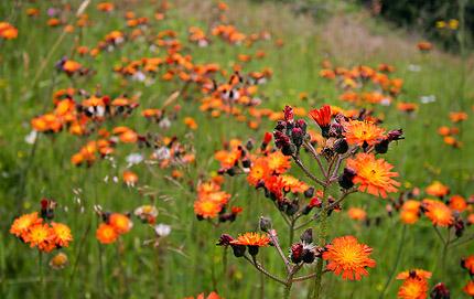 vogtländische Blumenwiese