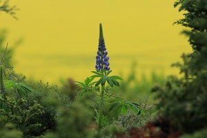 Lupine am Morgen